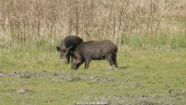 Wild Hog Hunting With A 223 Remington