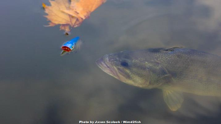 Catch More Bass on Topwater Poppers with these Tricks