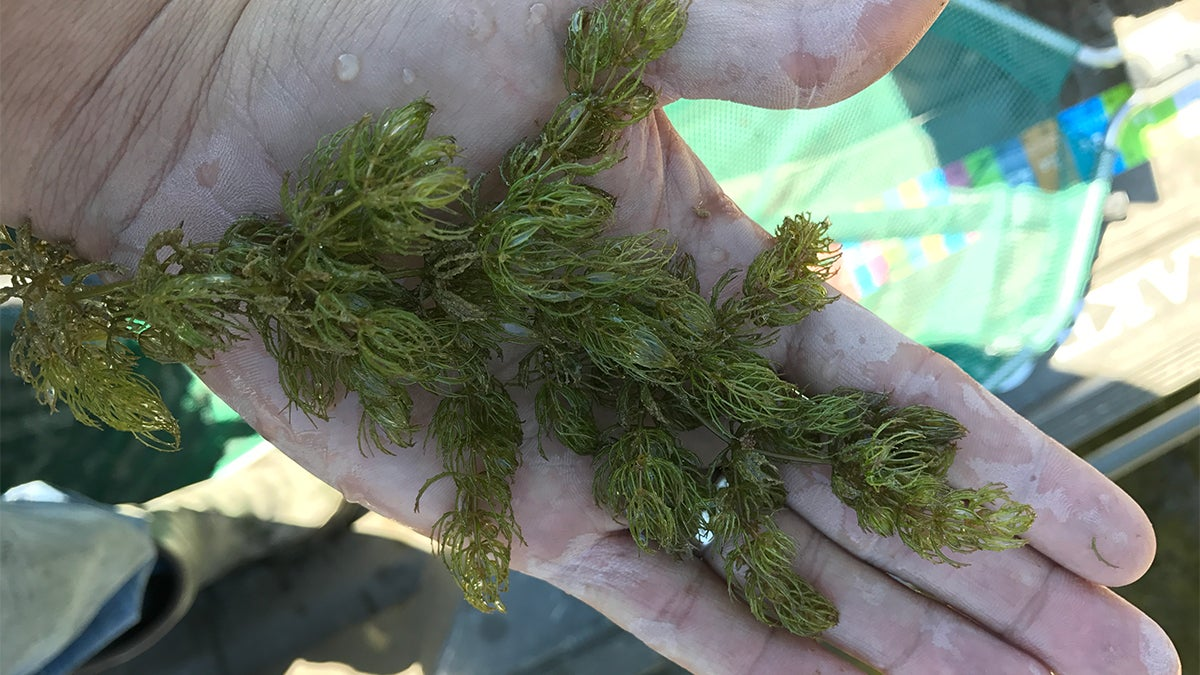 5 Submerged Grasses That Hold Big Bass
