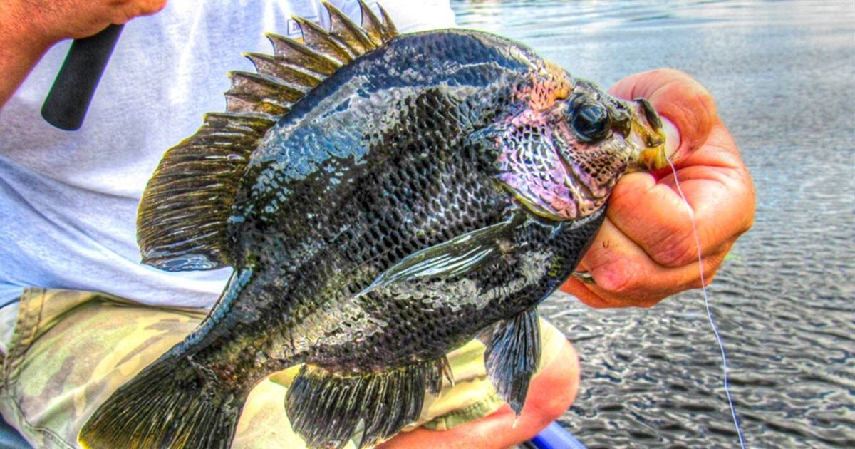 Tips for catching southern bluegills off beds for Shell cracker fish
