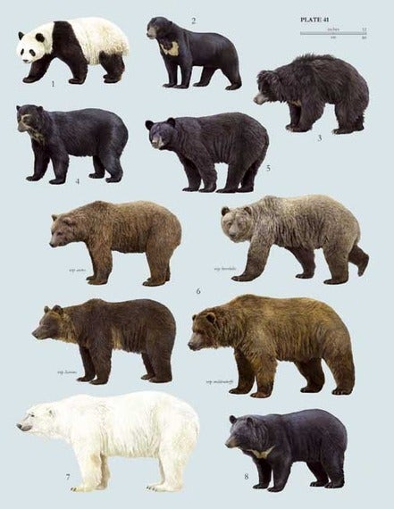 the eight different types of bears found throughout the world The american black bear is found black bear range is continuous throughout new england denning sites and diverse habitat types although bears are.